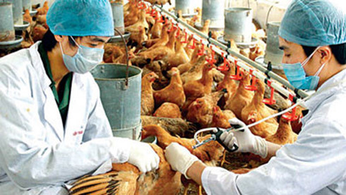 Bird flu expands in Vietnam, striking two more provinces, social news, vietnamnet bridge, english news, Vietnam news, news Vietnam, vietnamnet news, Vietnam net news, Vietnam latest news, vn news, Vietnam breaking news