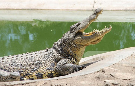 Crocodile mauls circus performer's face in northern Vietnam, social news, vietnamnet bridge, english news, Vietnam news, news Vietnam, vietnamnet news, Vietnam net news, Vietnam latest news, vn news, Vietnam breaking news