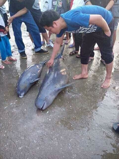 Ha Tinh fishermen rescue dolphin, environmental news, sci-tech news, vietnamnet bridge, english news, Vietnam news, news Vietnam, vietnamnet news, Vietnam net news, Vietnam latest news, Vietnam breaking news, vn news