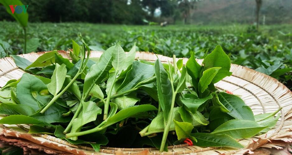 Tea harvest season in Yen Bai