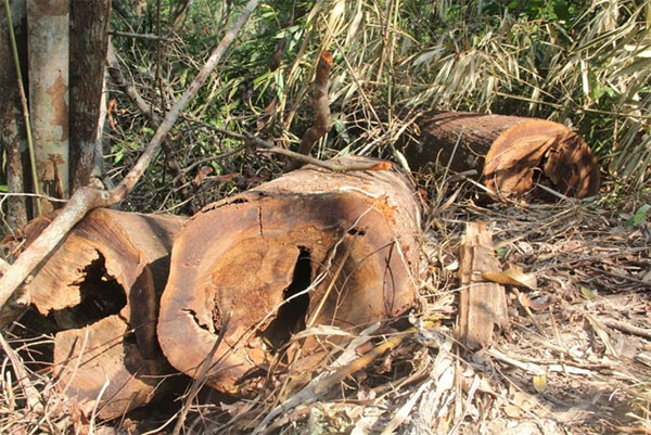 Quang Nam, illegal logging, protective forest, Vietnam economy, Vietnamnet bridge, English news about Vietnam, Vietnam news, news about Vietnam, English news, Vietnamnet news, latest news on Vietnam, Vietnam
