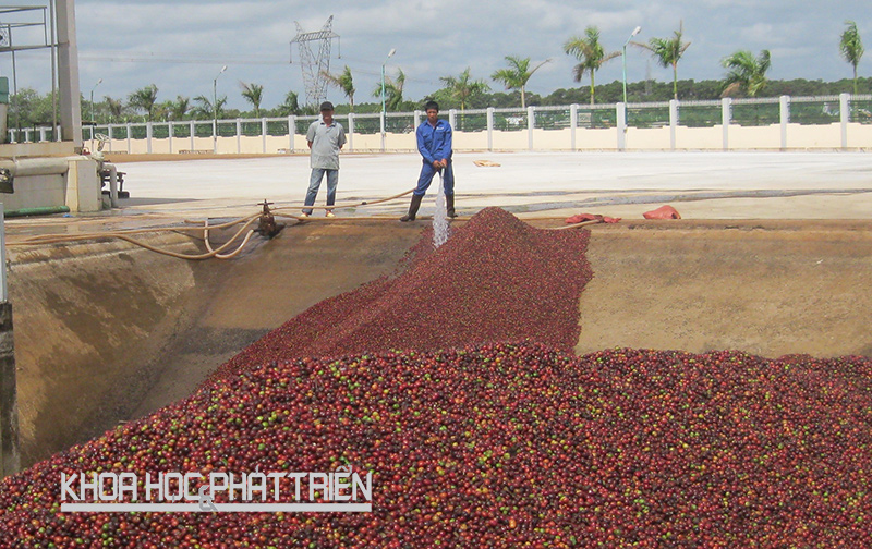 Scientists improve Vietnam's coffee with enzyme technology