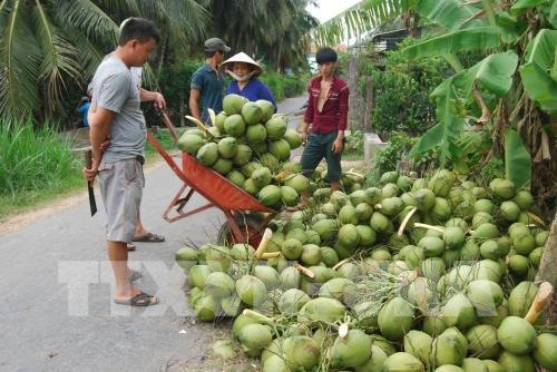 Ben Tre coconut growers struggling, social news, vietnamnet bridge, english news, Vietnam news, news Vietnam, vietnamnet news, Vietnam net news, Vietnam latest news, vn news, Vietnam breaking news
