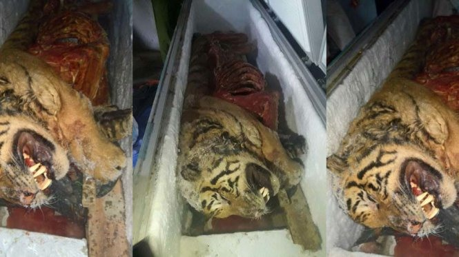 Five frozen tigers found in Nghe An, environmental news, sci-tech news, vietnamnet bridge, english news, Vietnam news, news Vietnam, vietnamnet news, Vietnam net news, Vietnam latest news, Vietnam breaking news, vn news
