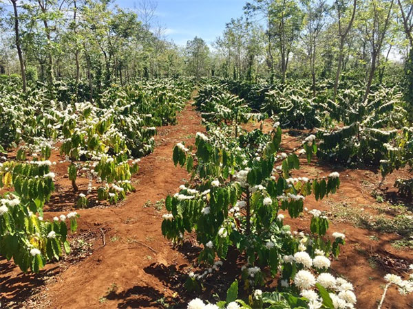 Climate change, replace aging coffee trees, Vietnam economy, Vietnamnet bridge, English news about Vietnam, Vietnam news, news about Vietnam, English news, Vietnamnet news, latest news on Vietnam, Vietnam