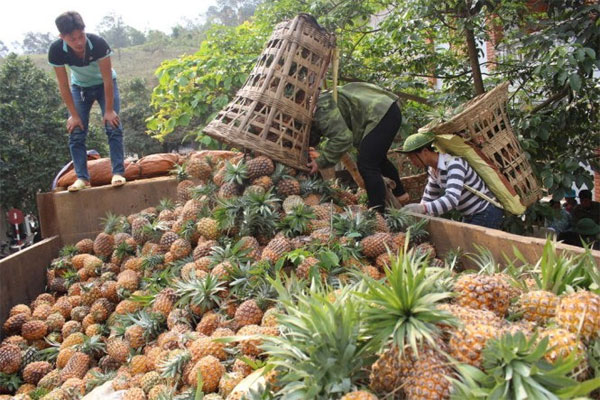 Lao Cai investigate reasons of pineapples' death