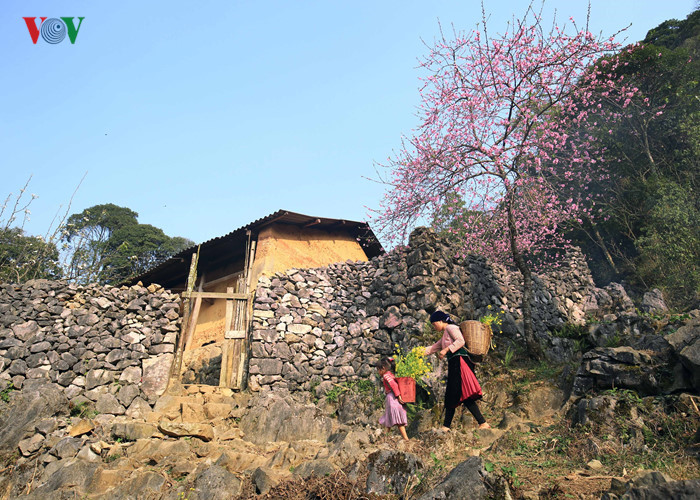 Stunning peach blossoms in Ha Giang