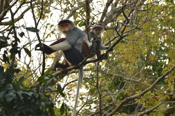 Son Tra Nature Reserve,  threat,  red-shanked douc langurs, Vietnam economy, Vietnamnet bridge, English news about Vietnam, Vietnam news, news about Vietnam, English news, Vietnamnet news, latest news on Vietnam, Vietnam