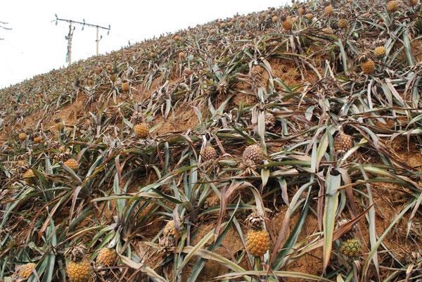 Lao Cai, metallurgy plant emissions, destroy pineapple crop, Vietnam economy, Vietnamnet bridge, English news about Vietnam, Vietnam news, news about Vietnam, English news, Vietnamnet news, latest news on Vietnam, Vietnam