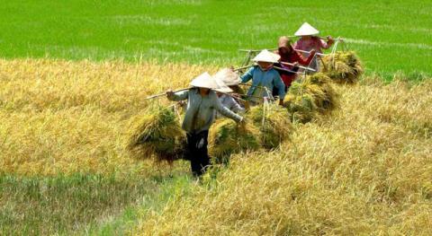 Vietnamese prefer Thailand's expensive rice to Vietnam's cheap rice