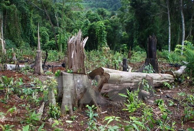 Forestry company head to be prosecuted for forest destruction, environmental news, sci-tech news, vietnamnet bridge, english news, Vietnam news, news Vietnam, vietnamnet news, Vietnam net news, Vietnam latest news, Vietnam breaking news, vn news