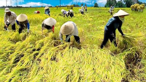 Vietnam applies SRP rice production standards to increase competitiveness, vietnam economy, business news, vn news, vietnamnet bridge, english news, Vietnam news, news Vietnam, vietnamnet news, vn news, Vietnam net news, Vietnam latest news, Vietnam