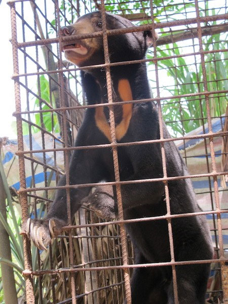 Bile farmers, bear bile farming, wild bears, Vietnam economy, Vietnamnet bridge, English news about Vietnam, Vietnam news, news about Vietnam, English news, Vietnamnet news, latest news on Vietnam, Vietnam