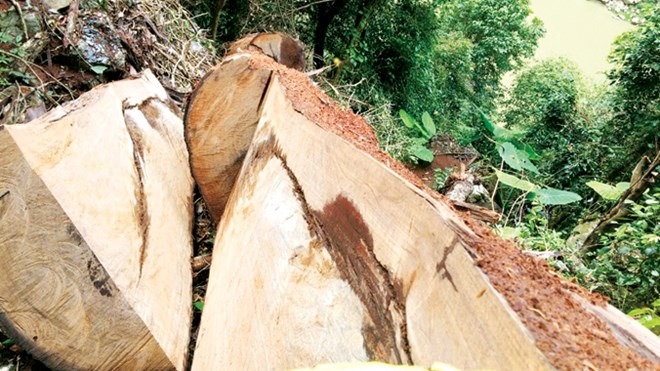 Hundred-year-old nghien forest in Ha Giang destroyed