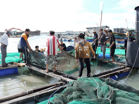 Ly Son islanders abandon lobster farming