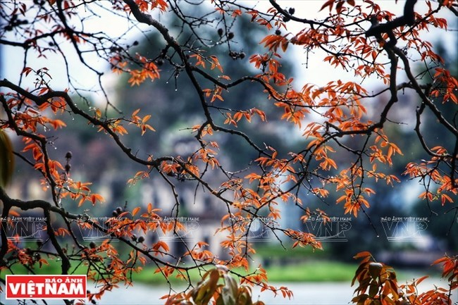 Poetic Hanoi with yellow-leaves-streets in early summer, travel news, Vietnam guide, Vietnam airlines, Vietnam tour, tour Vietnam, Hanoi, ho chi minh city, Saigon, travelling to Vietnam, Vietnam travelling, Vietnam travel, vn news