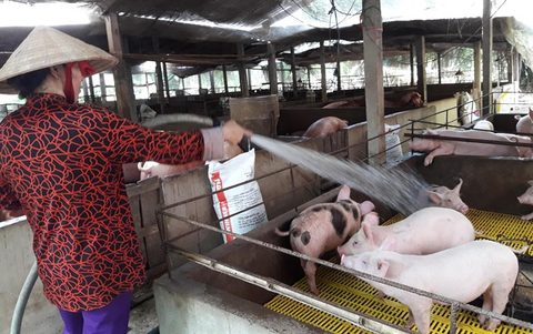 Agriculture Ministry urges husbandry firms to save pig farms