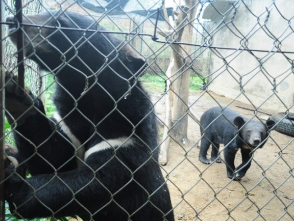 Vietnam works to end bear bile farming, environmental news, sci-tech news, vietnamnet bridge, english news, Vietnam news, news Vietnam, vietnamnet news, Vietnam net news, Vietnam latest news, Vietnam breaking news, vn news