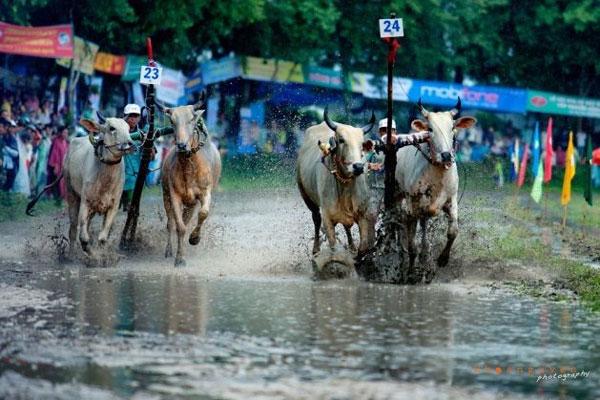 An Giang, ox racing festival, Ba Chua Xu festival, Vietnam economy, Vietnamnet bridge, English news about Vietnam, Vietnam news, news about Vietnam, English news, Vietnamnet news, latest news on Vietnam, Vietnam