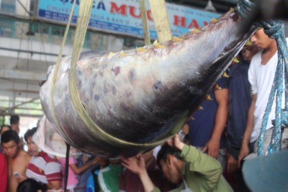 Giant pacific bluefin tuna set Vietnam record, social news, vietnamnet bridge, english news, Vietnam news, news Vietnam, vietnamnet news, Vietnam net news, Vietnam latest news, vn news, Vietnam breaking news