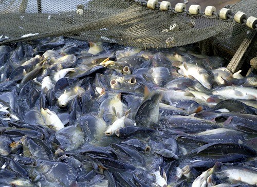 Vietnamese Government issues tra fish regulations