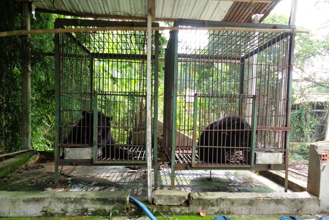 Two more Tibetan bears sent to rescue centre, Vietnam environment, climate change in Vietnam, Vietnam weather, Vietnam climate, pollution in Vietnam, environmental news, sci-tech news, vietnamnet bridge, english news, Vietnam news, news Vietnam, vietnamne