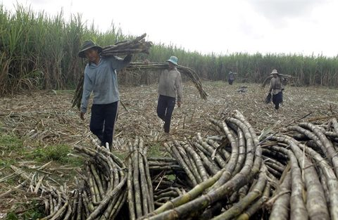 VN sugar firms bitter as smuggling soars unchecked, vietnam economy, business news, vn news, vietnamnet bridge, english news, Vietnam news, news Vietnam, vietnamnet news, vn news, Vietnam net news, Vietnam latest news, Vietnam breaking news