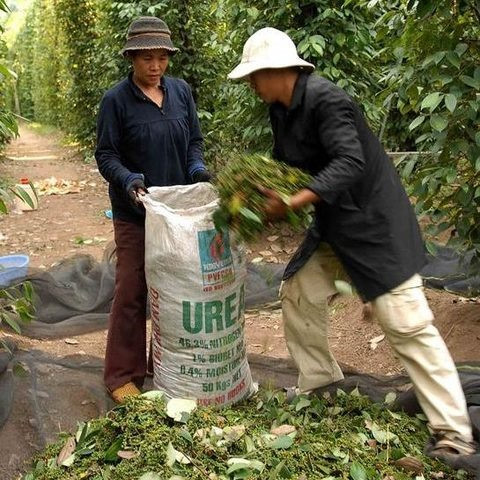 Vietnam's pepper farmers urged to keep calm and carry on