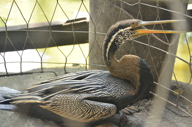 Rare bird transferred to Saigon Zoo, Vietnam environment, climate change in Vietnam, Vietnam weather, Vietnam climate, pollution in Vietnam, environmental news, sci-tech news, vietnamnet bridge, english news, Vietnam news, news Vietnam, vietnamnet news, V