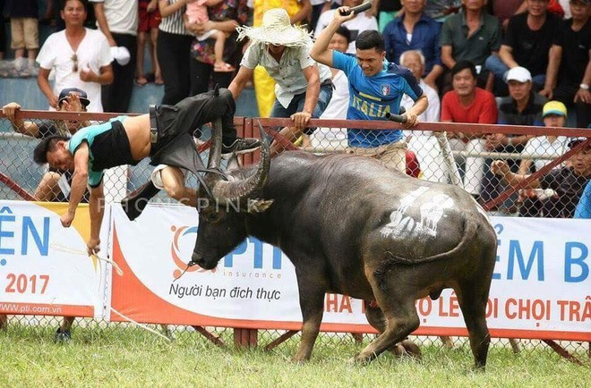 Do Son fest stopped as buffalo kills owner, social news, vietnamnet bridge, english news, Vietnam news, news Vietnam, vietnamnet news, Vietnam net news, Vietnam latest news, vn news, Vietnam breaking news