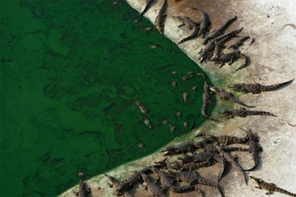 Thailand, biggest crocodile farms
