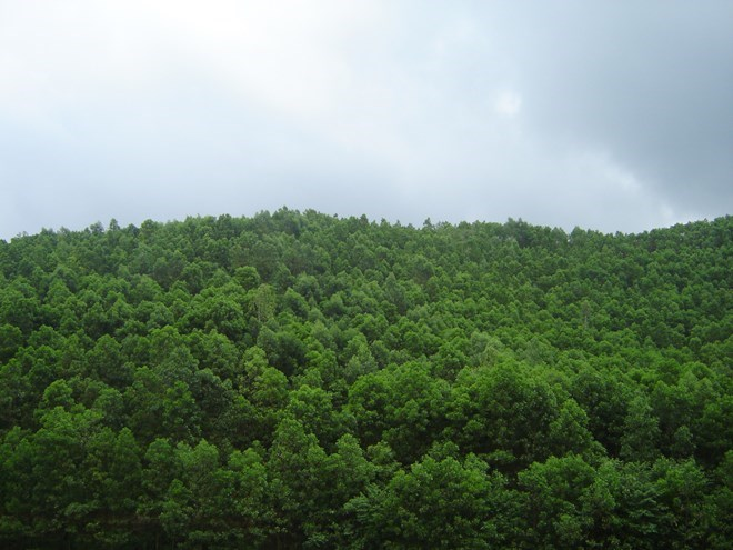 Additional 90,700 hectares of forest planted in first half, Vietnam environment, climate change in Vietnam, Vietnam weather, Vietnam climate, pollution in Vietnam, environmental news, sci-tech news, vietnamnet bridge, english news, Vietnam news, news Viet