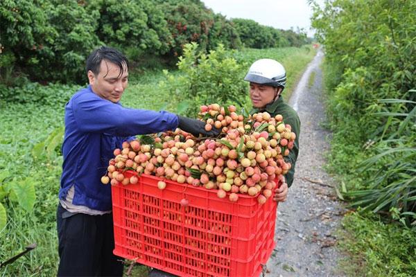 Lychee, Thanh Ha, Hai Duong, VietGap standard, Vietnam economy, Vietnamnet bridge, English news about Vietnam, Vietnam news, news about Vietnam, English news, Vietnamnet news, latest news on Vietnam, Vietnam