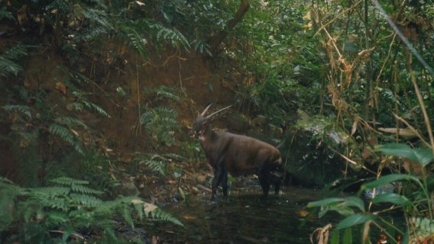 Bach Ma National Park selected to host world's first saola breeding centre