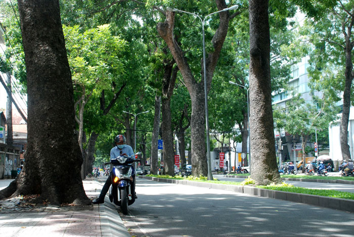 HCM City to lose iconic 150 old trees for bridge construction, social news, vietnamnet bridge, english news, Vietnam news, news Vietnam, vietnamnet news, Vietnam net news, Vietnam latest news, vn news, Vietnam breaking news