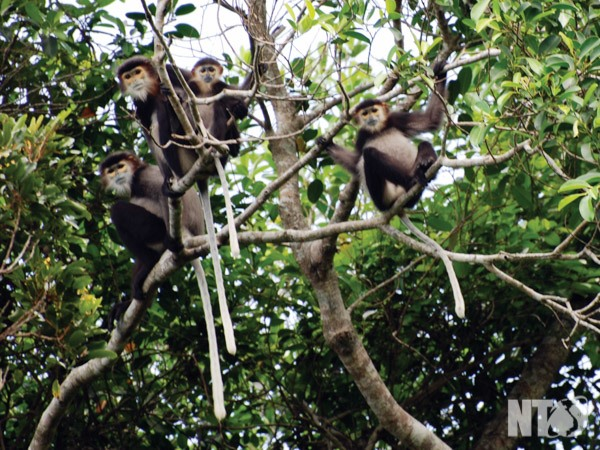 40 black shanked douc langurs found in Dong Nai