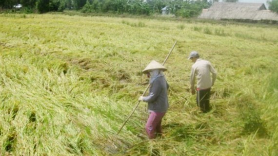 Heavy rain flattens summer autumn rice in Mekong Delta, social news, vietnamnet bridge, english news, Vietnam news, news Vietnam, vietnamnet news, Vietnam net news, Vietnam latest news, vn news, Vietnam breaking news