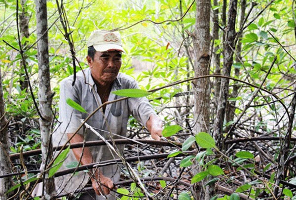 Ca Mau, conquer forest, Vietnam economy, Vietnamnet bridge, English news about Vietnam, Vietnam news, news about Vietnam, English news, Vietnamnet news, latest news on Vietnam, Vietnam