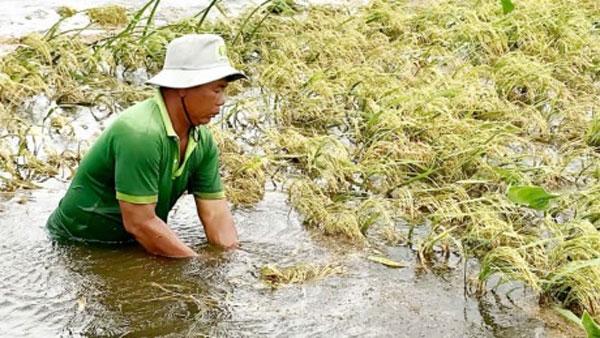 Floods damage rice crops in Mekong Delta