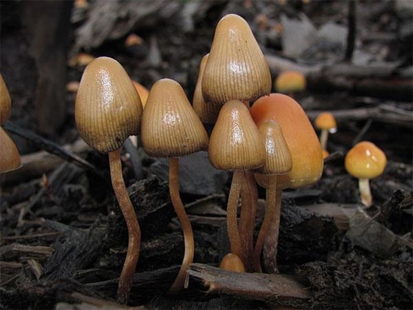 VN youth, magic mushrooms, contains psilocybin, kinds of drugs, Vietnam economy, Vietnamnet bridge, English news about Vietnam, Vietnam news, news about Vietnam, English news, Vietnamnet news, latest news on Vietnam, Vietnam