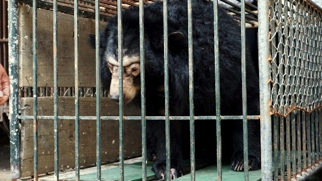 Microchips re-implanted in 200 captive bears in Hanoi, Vietnam environment, climate change in Vietnam, Vietnam weather, Vietnam climate, pollution in Vietnam, environmental news, sci-tech news, vietnamnet bridge, english news, Vietnam news, news Vietnam,