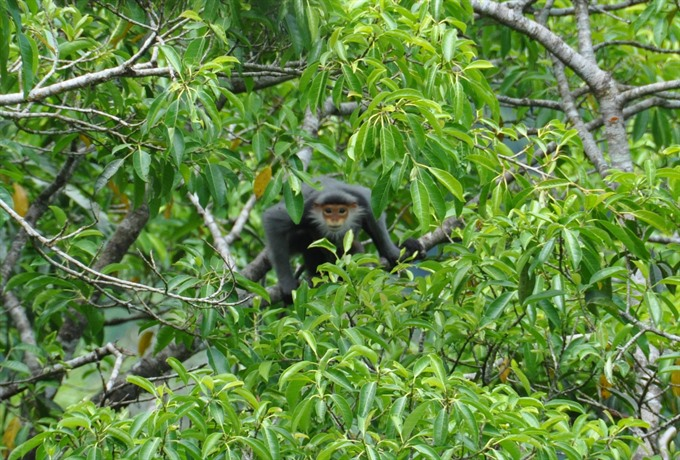 Two provinces protect primates from peril, environmental news, sci-tech news, vietnamnet bridge, english news, Vietnam news, news Vietnam, vietnamnet news, Vietnam net news, Vietnam latest news, Vietnam breaking news, vn news