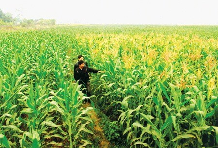 Vietnam spends nearly $1.7 billion on corn import every year, vietnam economy, business news, vn news, vietnamnet bridge, english news, Vietnam news, news Vietnam, vietnamnet news, vn news, Vietnam net news, Vietnam latest news, Vietnam breaking news