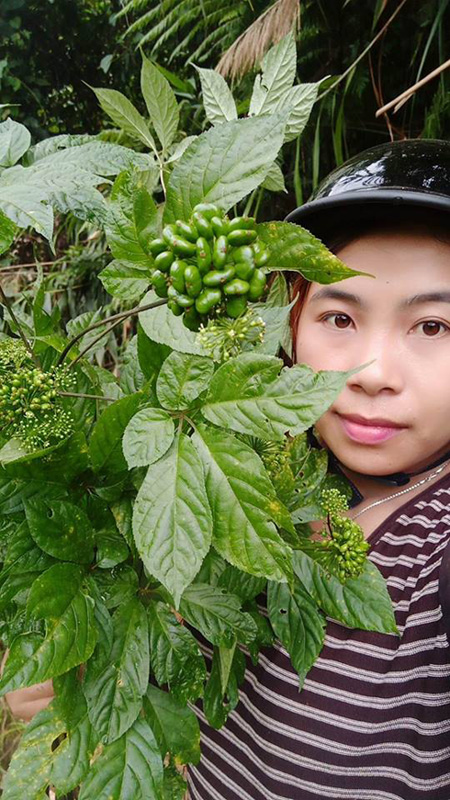 vietnam economy, business news, vn news, vietnamnet bridge, english news, Vietnam news, news Vietnam, vietnamnet news, vn news, Vietnam net news, Vietnam latest news, Vietnam breaking news, Ngoc Linh ginseng, Quang Nam, Nam Tra My
