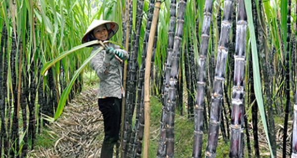 vietnam economy, business news, vn news, vietnamnet bridge, english news, Vietnam news, news Vietnam, vietnamnet news, vn news, Vietnam net news, Vietnam latest news, Vietnam breaking news, biomass, bagasse, sugar cane