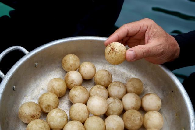 Underwater turtle eggs found off Cu Lao Cham, Vietnam environment, climate change in Vietnam, Vietnam weather, Vietnam climate, pollution in Vietnam, environmental news, sci-tech news, vietnamnet bridge, english news, Vietnam news, news Vietnam, vietnamne