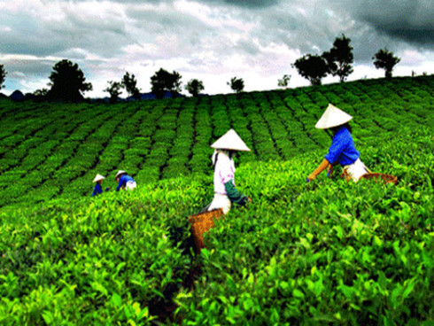 Solving trouble brewing in the Vietnam tea industry, vietnam economy, business news, vn news, vietnamnet bridge, english news, Vietnam news, news Vietnam, vietnamnet news, vn news, Vietnam net news, Vietnam latest news, Vietnam breaking news