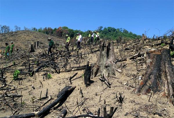 Binh Dinh, devastated forest,  investigation, Vietnam economy, Vietnamnet bridge, English news about Vietnam, Vietnam news, news about Vietnam, English news, Vietnamnet news, latest news on Vietnam, Vietnam