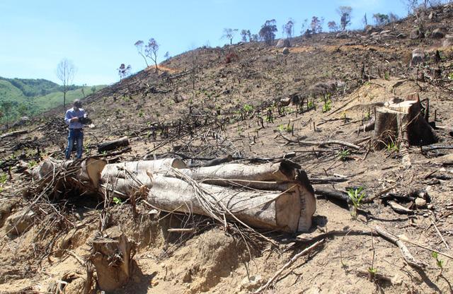 Binh Dinh investigates huge forest destruction crime, environmental news, sci-tech news, vietnamnet bridge, english news, Vietnam news, news Vietnam, vietnamnet news, Vietnam net news, Vietnam latest news, Vietnam breaking news, vn news