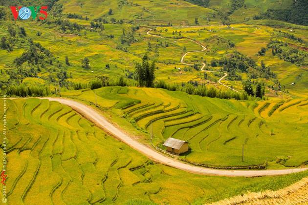 Amazing golden rice fields in northwestern Vietnam, travel news, Vietnam guide, Vietnam airlines, Vietnam tour, tour Vietnam, Hanoi, ho chi minh city, Saigon, travelling to Vietnam, Vietnam travelling, Vietnam travel, vn news